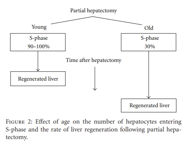 Liver Regeneration and Aging: A Current Perspective