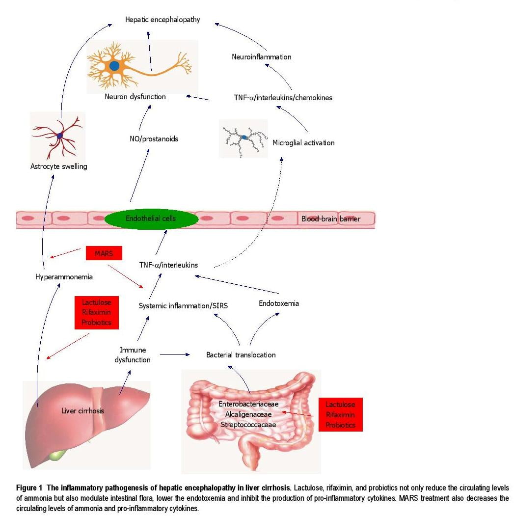 Inflammation: A novel target of current therapies for hepatic encephalopathy in liver cirrhosis